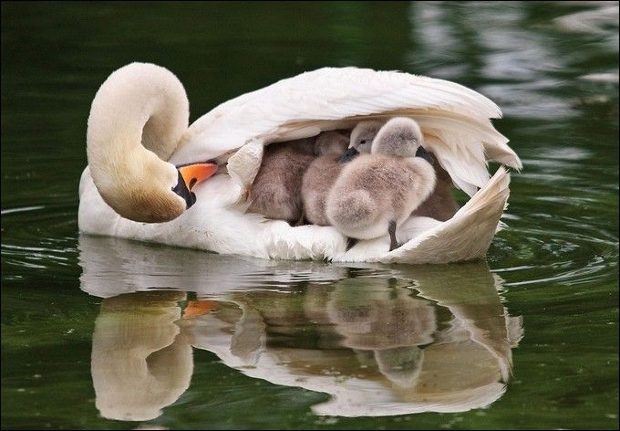 Baby swans: Mothers Love, Animal Photo, Shelters, Wings, Boats, Baby, Feathers, Families, So Sweet