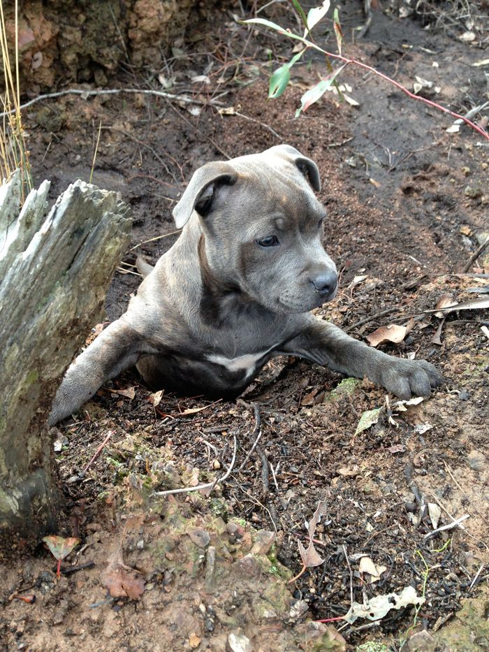 Happy Staffy | Grozbolt Staffordshire Bull Terriers | Victoria Australia