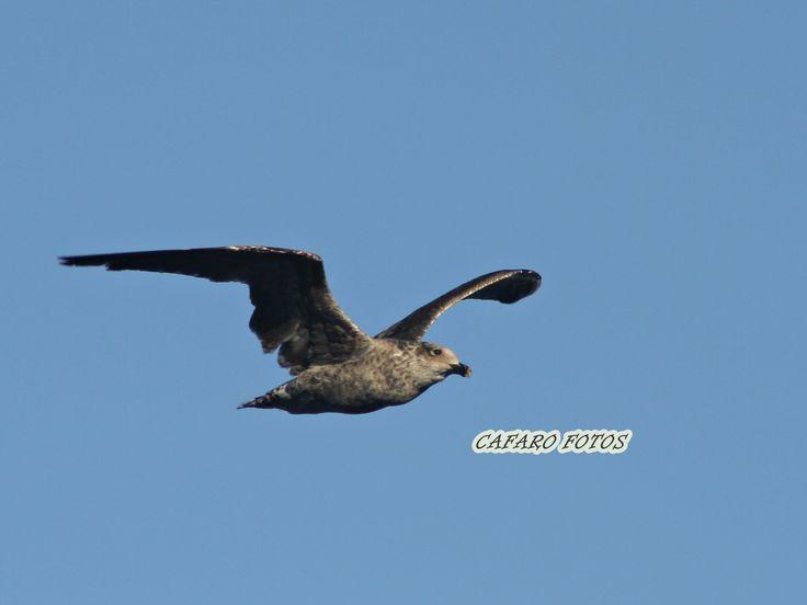 Petrel. Ushuaia