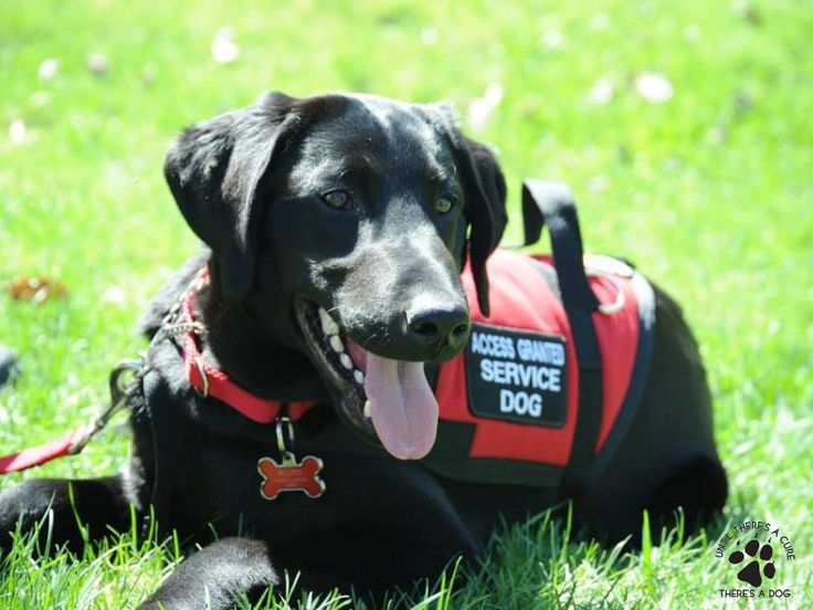 A Diabetic Service Dog does wonders in the lives of those affected by diabetics. Learn the best practices for caring for your service dog for diabetes.