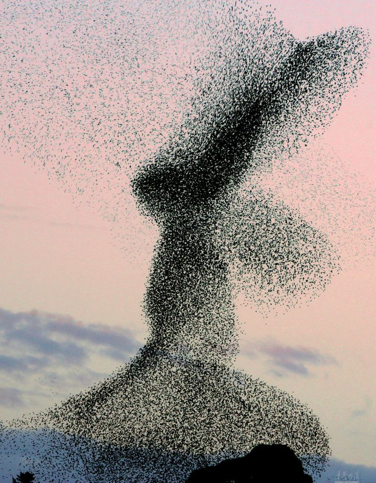 A huge flock of Starlings. @Fritillaria I never realized they flew in formations like this!