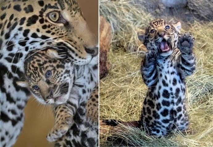 Детеныш ягуара с мамой