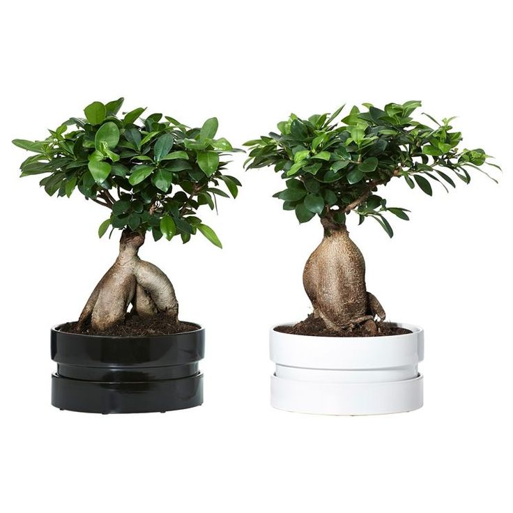 die besten 25 ginseng bonsai ideen auf pinterest ficus. Black Bedroom Furniture Sets. Home Design Ideas