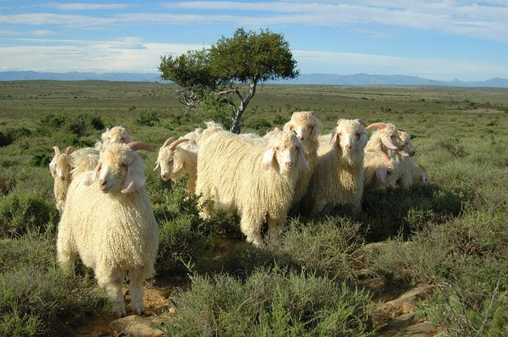 Karoo Angora goats