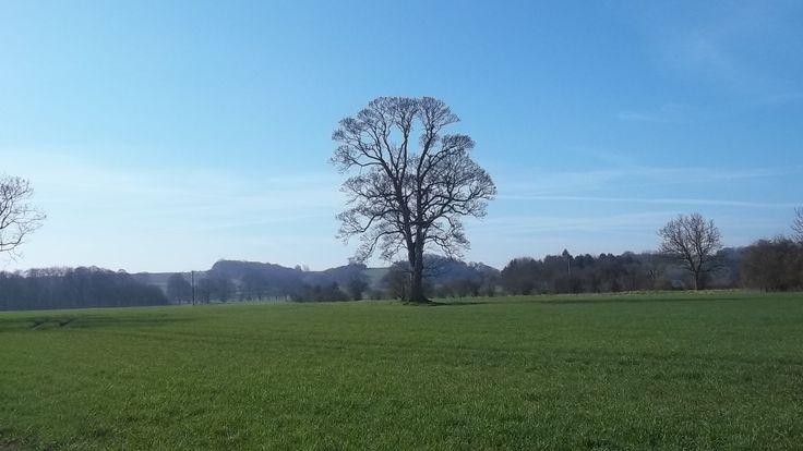 Hovingham York - lone tree in Spring