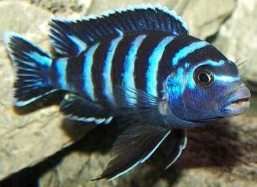 had a demasoni (Pseudotropheus demasoni)  Named Tigre (Tiger) she crossbred with the electric yellow and gave me a funny friend I call Chose Une (Thing One)