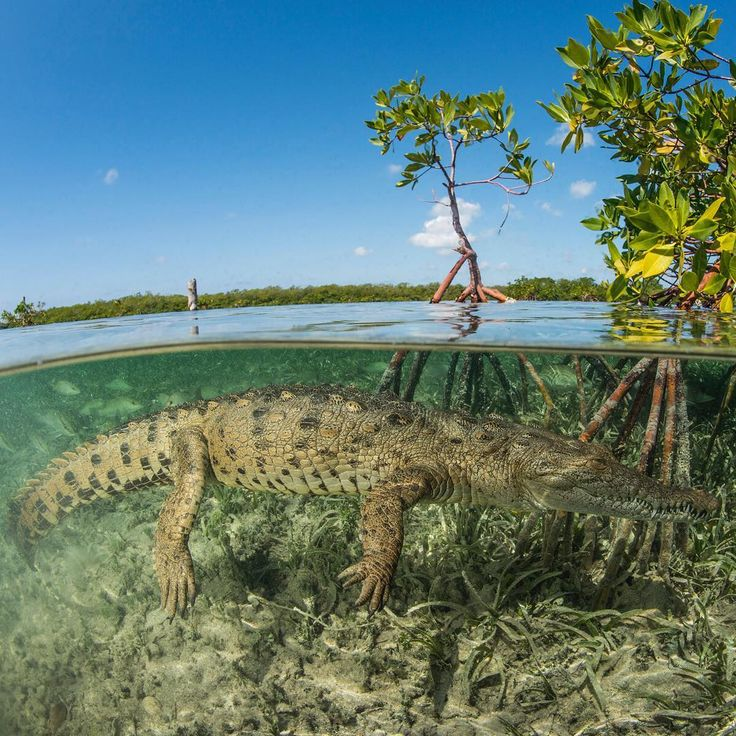 An American saltwater #crocodile swims in the #mangrove off the coast of #Cuba. #underwater #sealife #animals