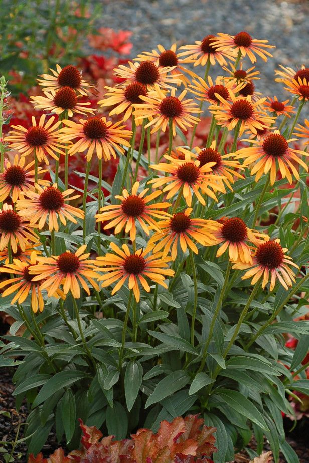 Echinacea 'Flame Thrower' Celebrated for its thick stems that support 3- to 4-inch flowers, 'Flame Thrower' coneflower ignites the garden with its two-toned blooms. Petals fade from red-orange