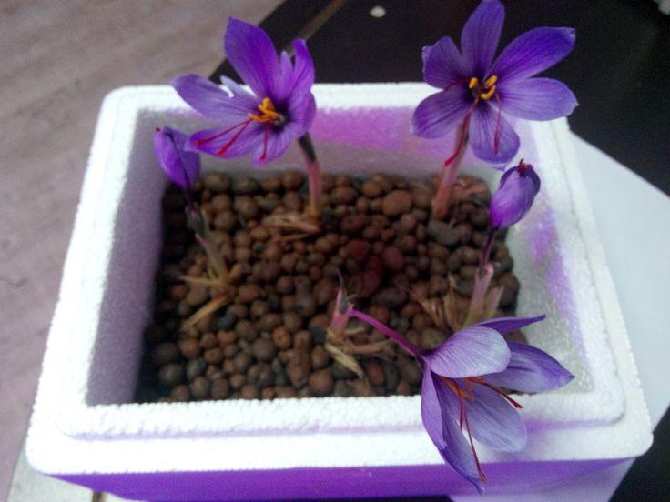 Saffron Flower in Plantekno Lab. Safran Bitkisi - http://plantekno.com