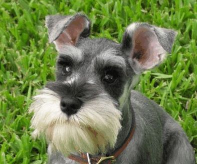 Dog Breeds With Goatees, Beards and Mustaches | PetHelpful