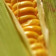 How to Grill Corn in the Husk on a Gas Grill | eHow