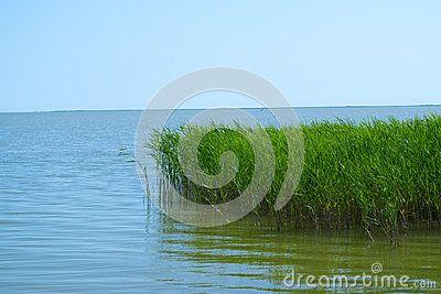 Green  reed  at  the lake. raw  format