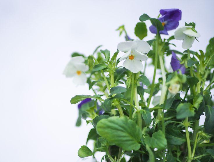 Salaattiorvokki on todellinen löytö! Syötävää siinä on nimittäin kauniiden kukkien lisäksi koko kasvi ... ja yhtäkkiä on kesä talven keskellä.