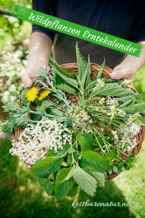 Es gibt hunderte essbare Wildpflanzen. Im Sammelkalender findest du die gesündesten und schmackhaftesten Kräuter, Bäume und Sträuche für jeden Monat.