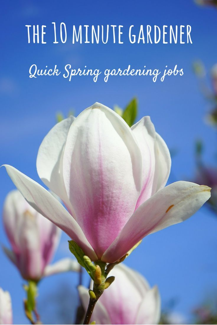 Garden adventures white turmeric curcuma zedoaria - The 10 Minute Gardener Quick Spring Gardening Jobs