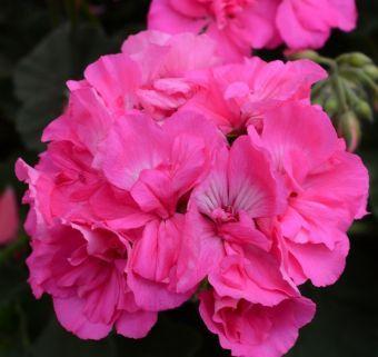 Pelargonium Calliope® Large Pink