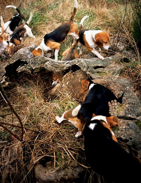Ahh beagles....Is there anything neater than watching a pack like this? For (Taylor Byars Shemwell, Junior Handler) 2008 - 2013 and (Travis Byars, Junior Handler) 2008 - 2014 and Derby Judge) - 2014