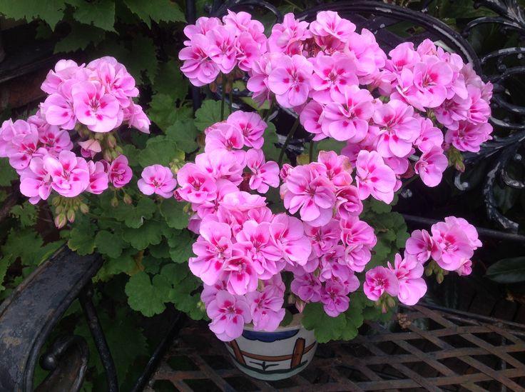 Deze roze geranium is van vorig jaar en staat het hele seizoen al vol met bloemen.