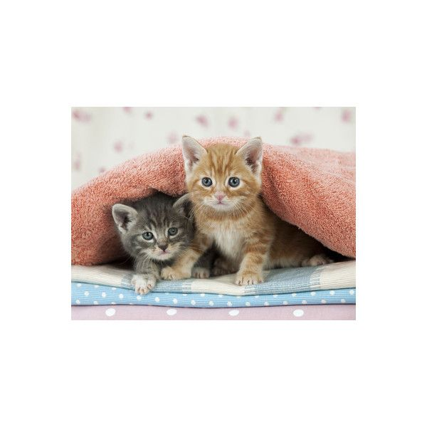Ginger and Grey Tabby Kittens Photographic Wall Art Print ($24) ❤ liked on Polyvore featuring home, home decor, wall art, 20th century art, andy, andy photography, fine art by era, fine art views, people warhol photography and warhol