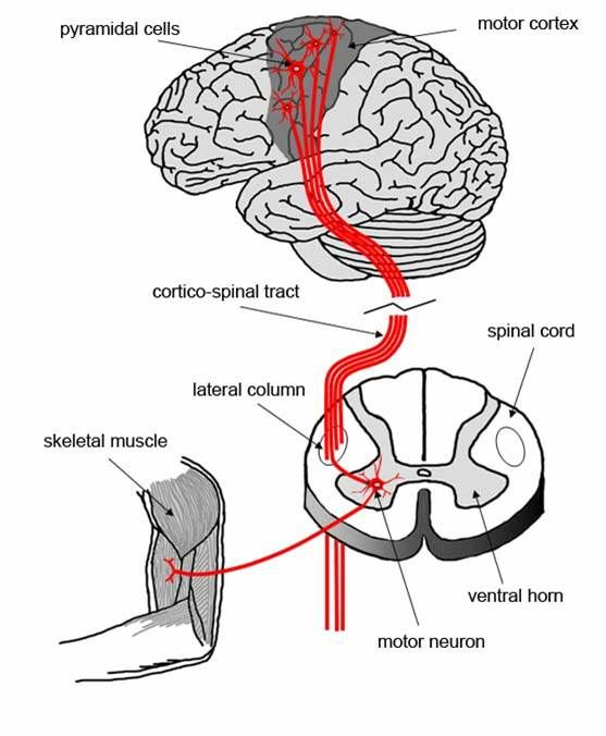 130 best images about neuroanatomy on pinterest
