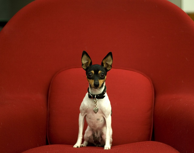 Toy Fox Terrier....looks just like mine! :-)