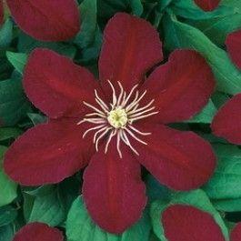 Deze bladverliezende klimmer bloeit van juni t/m september met grote donkerrode bloemen. U kunt deze plant gebruiken voor het begroeien van een pergola, muur of schutting. U kunt deze ook in een pot of bak op het balkon zetten. Als u een clemat