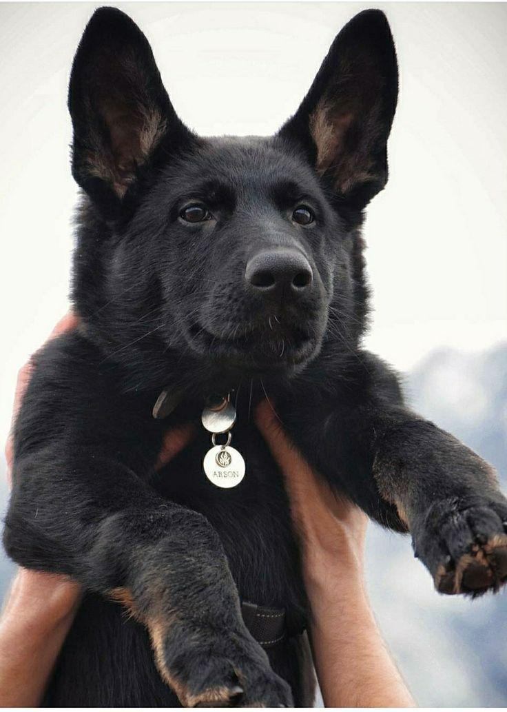 Black German Shepherd What Is A Black German Shepherd Black