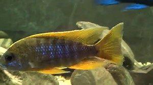 Peacock Cichlid (Aulonocara hansbaenschi) - Aquarium Life