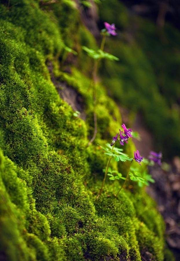 131 besten corydalis bilder auf pinterest alpine pflanzen sukkulenten und alpinum. Black Bedroom Furniture Sets. Home Design Ideas