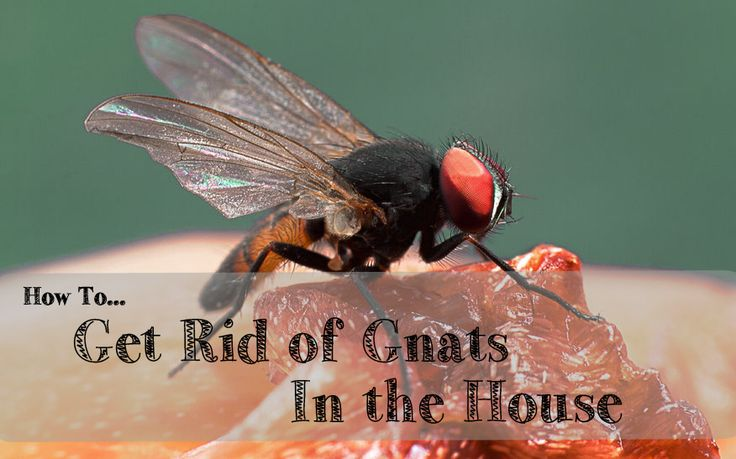 how to get rid of gnats in the house good to know pinterest the o 39 jays blog and how to. Black Bedroom Furniture Sets. Home Design Ideas
