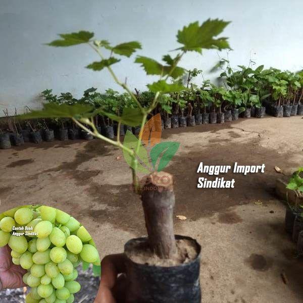 Anggur Import Sindikat Anggur Bibitbuah Agrobibit Garden