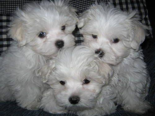 Adorable ACA Maltese Puppies for sale