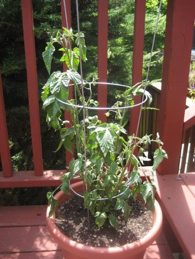 511 Best Container Gardening Ideas Images On Pinterest: Best 25+ Growing Tomatoes Ideas On Pinterest