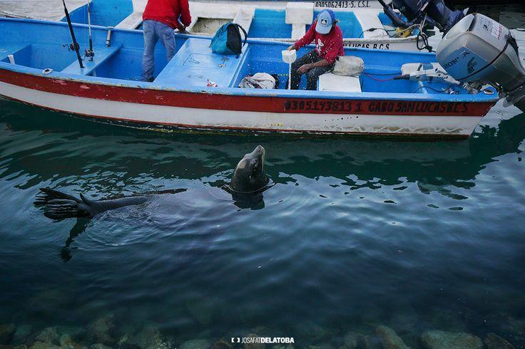 Seal looking for food  #josafatdelatoba #cabophotographer #loscabos #cabosanlucas #bajacaliforniasur #seal #boat