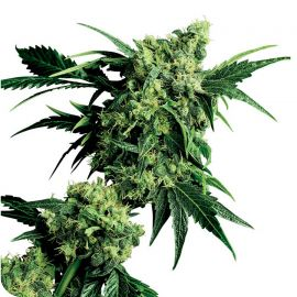 Mr. Nice G13 x Hash Plant - strain - Sensi Seeds | Cannapedia
