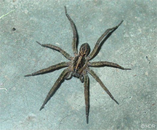 Wolf spider bite complete article on how to identify and treat wolf spider bites with full description of symptoms and appearance included.