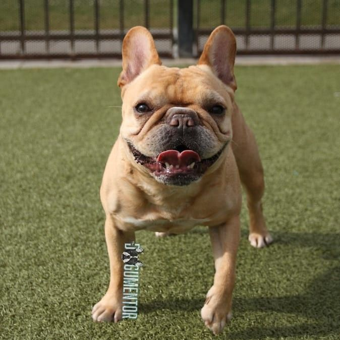 Boscoe French Bulldog 6 Y O Little Italy Dog Park He S A
