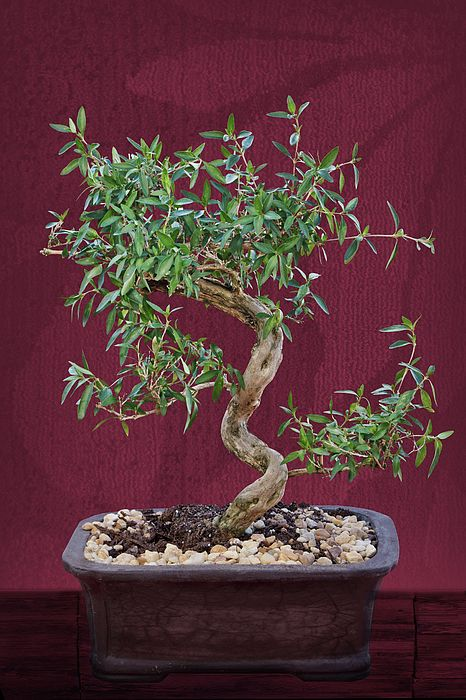 """Bonsai #1"" by Nikolyn McDonald presents a graceful miniature tree in a container against a rich burgundy background.   plant,ornamental,shrub,dwarf,dwarfed,oriental,tray,Japanese,contemplation,cultivation,shape,grace,confinement,pruned,pruning,small,penjing,Chinese,potted,trunk,branches,foliage,leaves,red,dark,tapestry,texture,background,table,ceramic,pot,nikki,nikolyn,mcdonald"