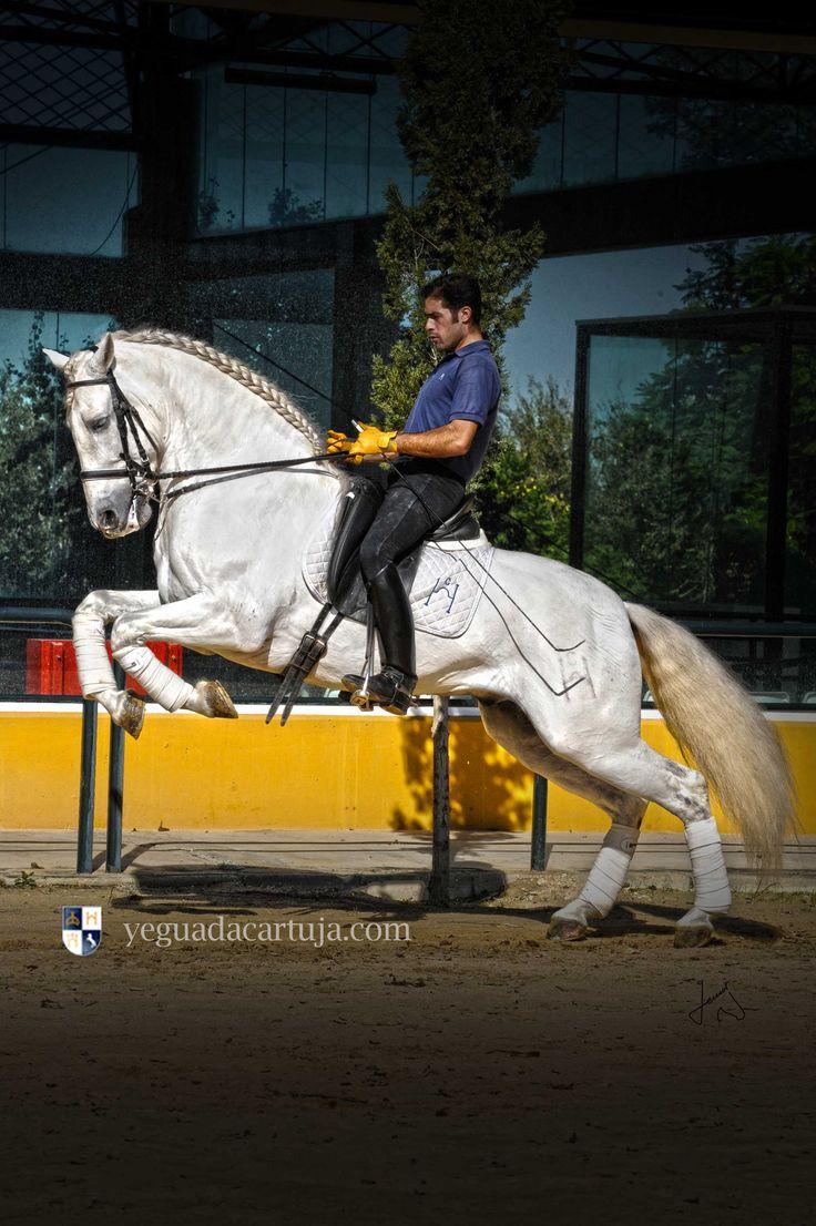 Habano XXVIII de la Yeguada de la Cartuja. Caballo Cartujano Pura raza Española.