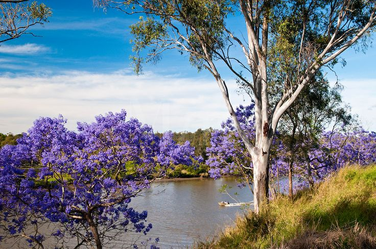 Flowering Jacaranda trees along Brisbane River, Richardson Park, Brisbane Tce., Goodna, Qld., Australia