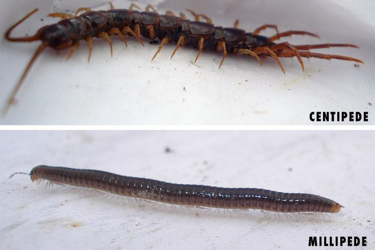 How To Tell The Difference Between A Centipede And A Millipede