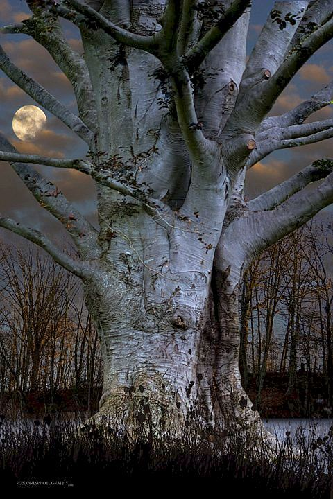 Old tree and moon