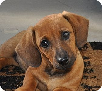 Sammy | Adopted Puppy | Umatilla, FL | Dachshund/Basset ... |Dachshund Basset Hound