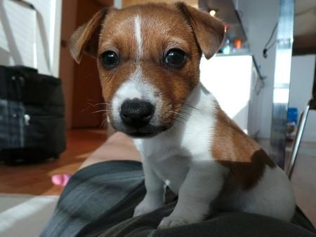 Hunter the Irish Jack Russell