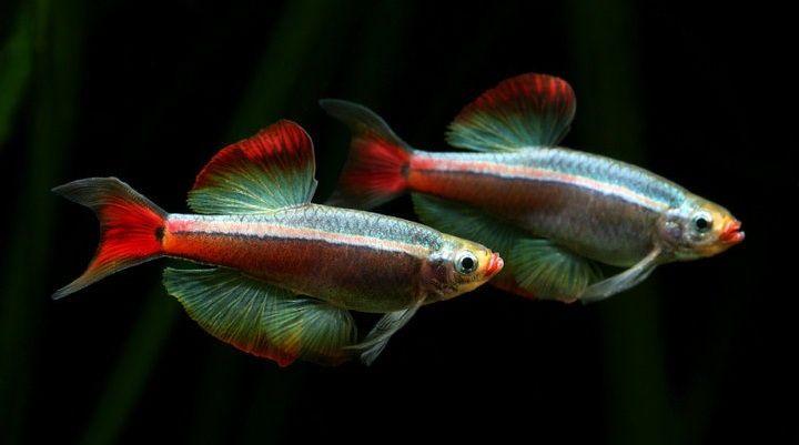 Long Fin White Cloud Home Aquarium Fish Cool Fish Aquarium Fish