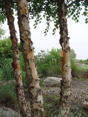 Betula nigra 'Heritage'  River Birch