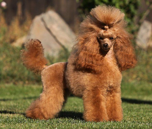 Group Toy Dogs : Best ideas about dog breeds group companion and toy