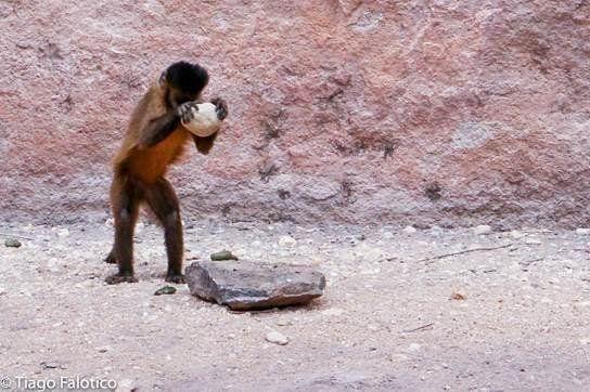 Macacos-prego usavam ferramentas há 700 anos