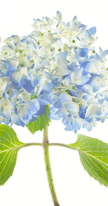 Comment tailler les hortensias ?   #hortensia #hydrangea #fleurs #bleues v#iolettes