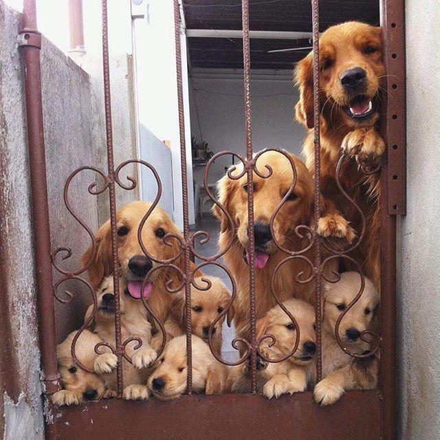 Adorable Golden Retriever Dog Family                                                                                                                                                                                 More